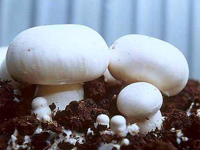 Выращивание шампиньонов в домашних условиях