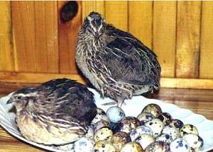 мясо или яйца