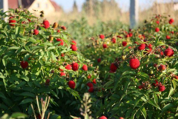 Выращивание малины как бизнес: План и рентабельность 27