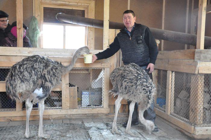 Разведение страусов в домашних условиях: цены и особенности содержания